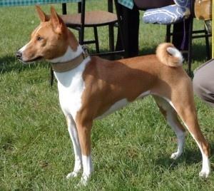 Basenji - African dog that doesn't bark.