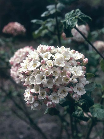 Shrubs // Viburnum carlcephalum- Fragrant Snowball