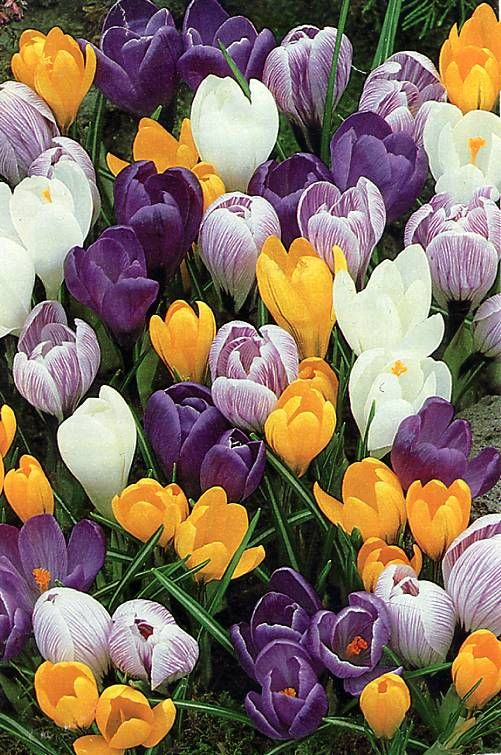 Crocuses - a Springtime flower, displaying shades of purple, yellow and white.