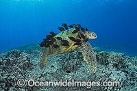 Surgeonfish cleaning Green Sea Turtle image