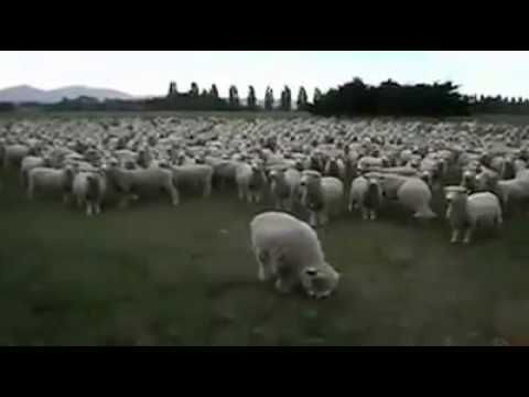 Sheep's Protest Very Funny Video