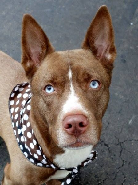 SAFE 12/7/14!  Was TO BE DESTROYED - 12/07/14 Manhattan Center -P  My name is CANELA. My Animal ID # is A1021635. I am a female white siberian husky and am pit bull ter mix. The shelter thinks I am about 10 MONTHS old.     For more information on adopting from the NYC AC&C, or to  find a rescue to assist, please read the following: http://urgentpetsondeathrow.org/must-read/
