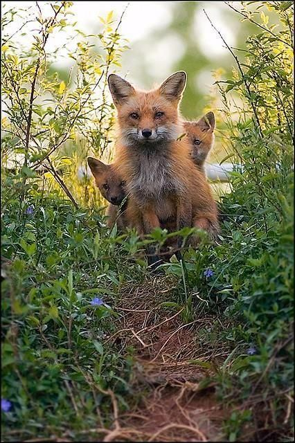 Red Foxes... - Pixdaus