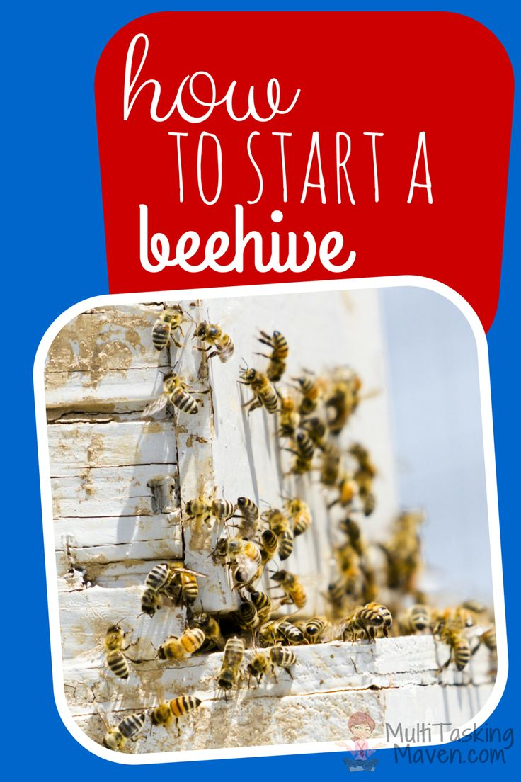 How to Start a Beehive is a great experience the whole family can enjoy. I walk you through what you need to get started. Materials list and video. Click here:  http://multitaskingmaven.com/how-to-start-a-beehive/