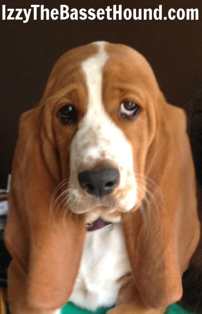 2628 Best Images About Basset Beagle Love On Pinterest
