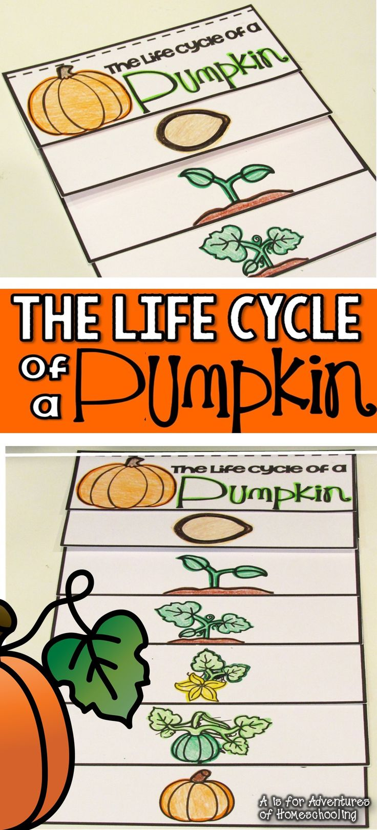 Pumpkin Life Cycle FREEBIE!A is for Adventures of Homeschool
