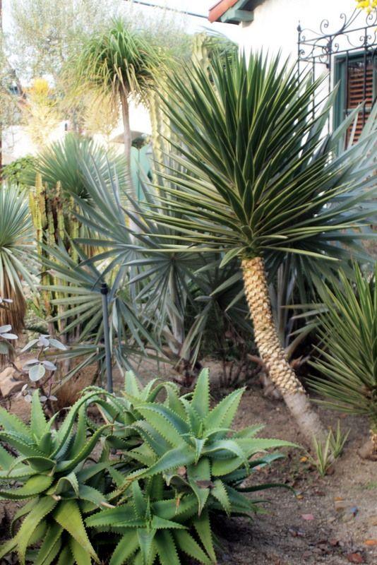 Yuccas, ponytail palms, more succulent plants & palms.
