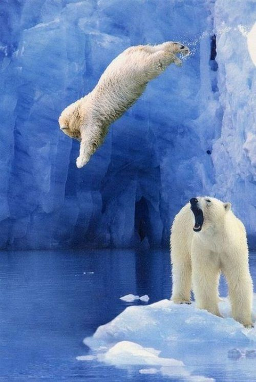 """""""Robbie!""""the polar Bear is taking a Dive off the cliff into the ice cold lake water, just having fun!!"""