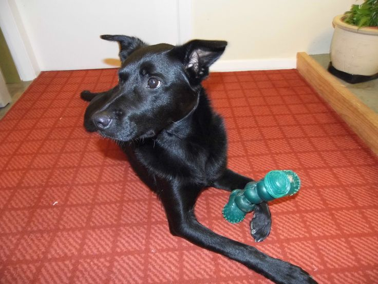 Australian Kelpie. Shadow with his toy