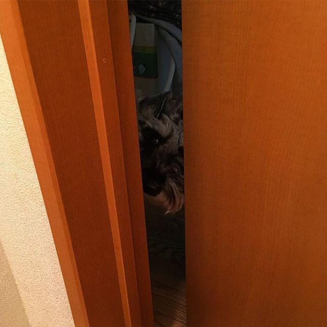 トイレ中覗いてくるやつ😎 #schunauzer  #シュナウザー #愛犬 #いぬとの暮らし #イヌスタグラム #dog #dogstagram  #トイレ #覗き見
