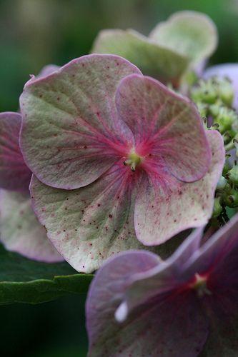 Late season Hortensia