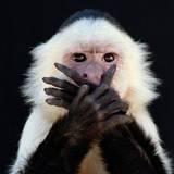 capuchin monkey pets - Google Search