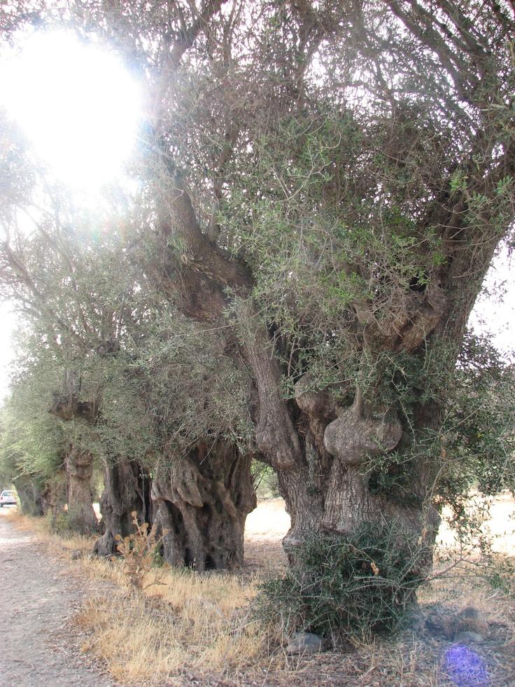 Olivos centenarios junto a la Mina Marialina en Peraleda de San Román. Estos árboles deberían protegerse como árboles singulares dentro del Geoparque Villuercas.