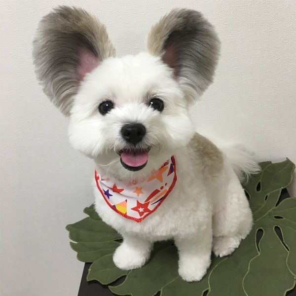 Adorable Mickey Mouse Dog Has Giant Fluffy Ears Like A Real Life