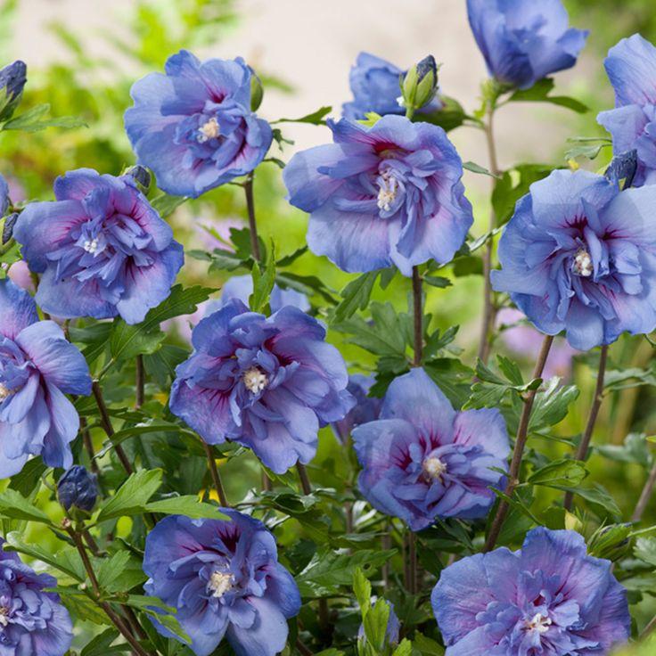 Hibiskus 'Chiffon® Blue'
