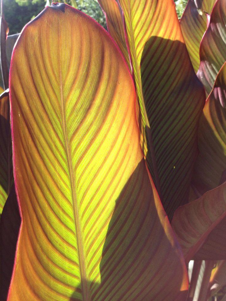 Beautifully backlit canna lily leaf www.tuihousehealing.co.nz