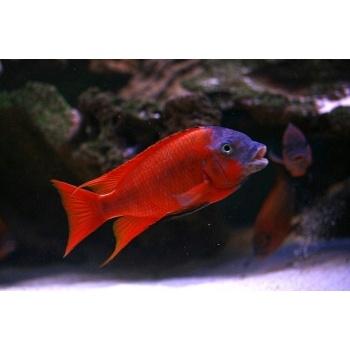 Red Ruby Cichlid