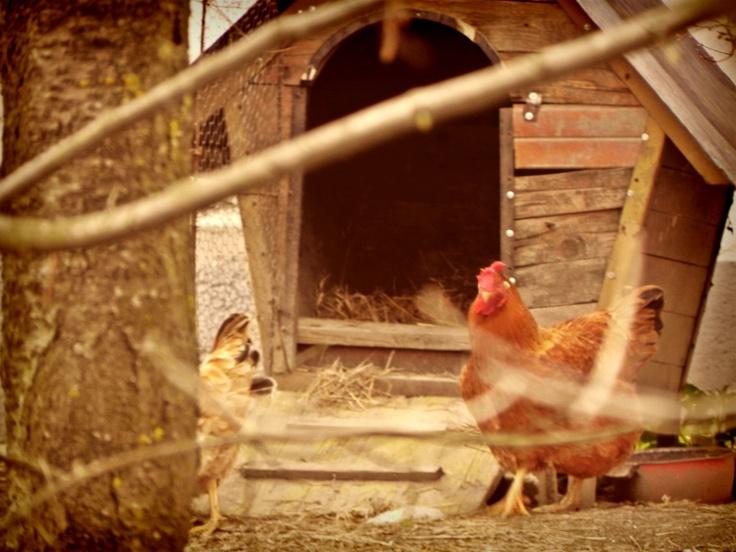 gallo da guardia