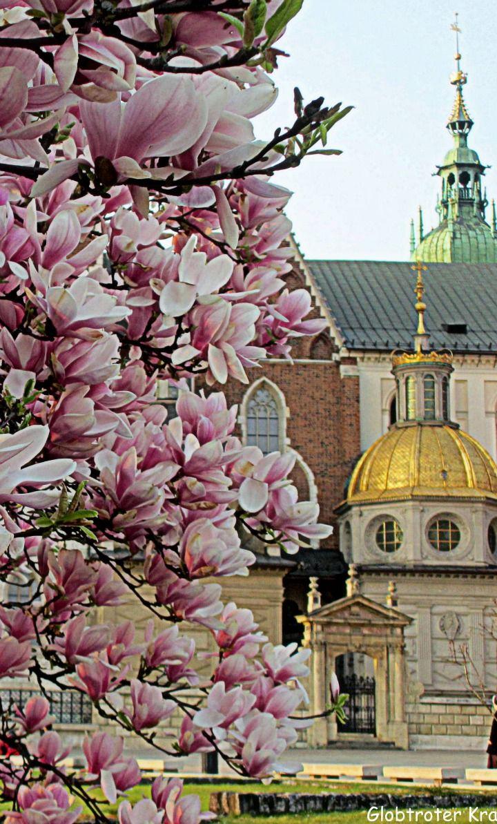 """ Spring in Krakow"" Magnolias on the Wawel Hill , Krakow, Poland"
