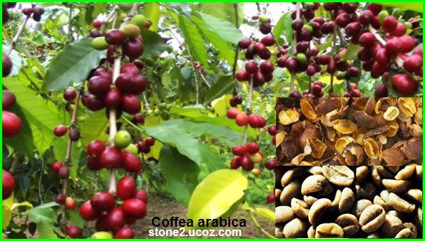انواع شجر البن Coffea قائمة الفواكهة النبات معلومات نباتية وسمكية معلوماتية Coffea Arabica Coffea Fruit