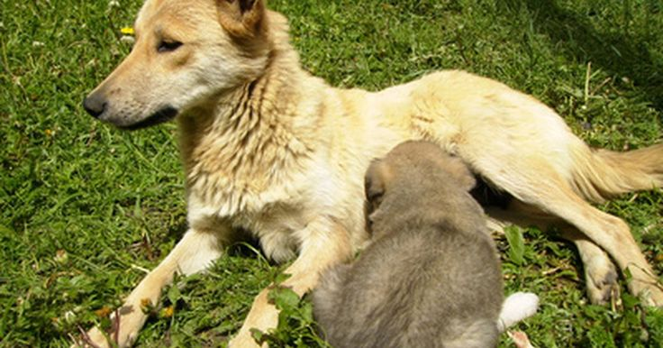 Suplementos para una perra que no produce leche después de tener su camada. Como los humanos, las perras a veces no producen suficiente leche natural para alimentar a toda su camada. Los signos típicos de que la camada no está recibiendo suficiente leche son llanto constante, pérdida de peso y la inactividad. Cuando esto sucede, las hierbas conocidas como galactogogos se pueden utilizar para aumentar la lactancia. Los ...