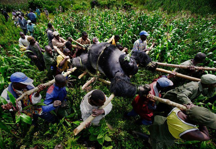 I ranger del parco nazionale di Virunga, nella Repubblica Democratica del Congo, portano via un gorilla ucciso dai bracconieri. Dalla serie A violation of Eden. - (Brent Stirton, Prix Pictet Ltd 2015)