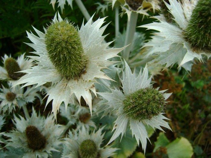 Kruisdistel (Eryngium giganteum Silver) - p9