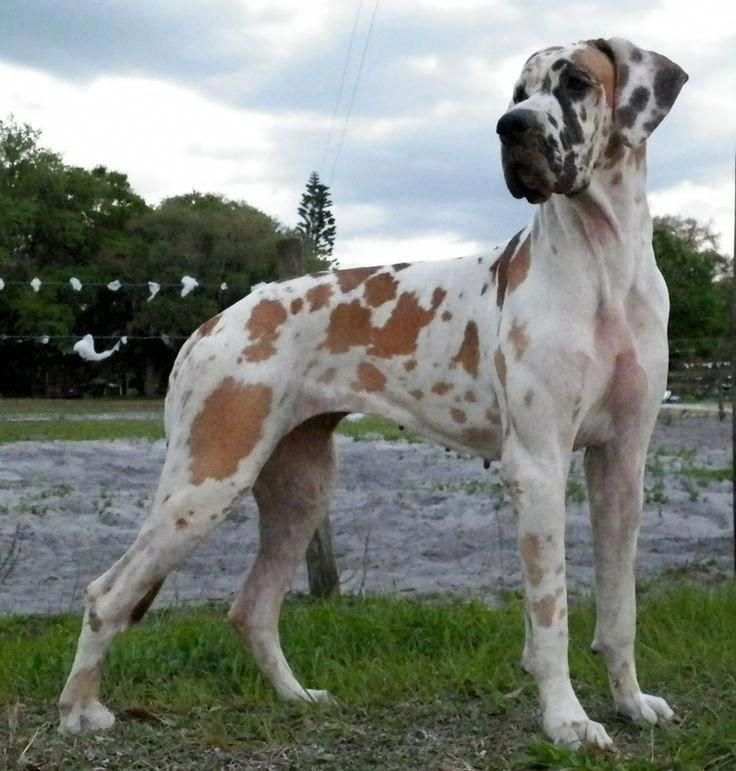 The Affectionate Great Danes Pups Greatdaneworld