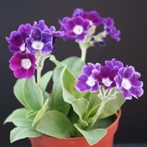 Border Auricula : Purple Royale - Drointon Nurseries : A neat plant with deep purple slightly cup shaped flowers. (EG 2013)