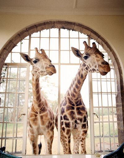 Giraffes: Giraffe Hotel, Bucket List, Animals, Giraffes 3, Kenya, Things, Africa