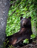 'The @[229915240383414:274:Whistler Olympic Park] is the perfect spot for a big 'ol girl like this to relax and watch our #jeeps drive by. #whistler #littlethingswhistler #WhistlerPhotoSafaris #Bears #onlyinwhistler'