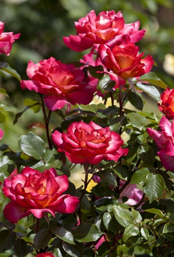 Nawożenie róż