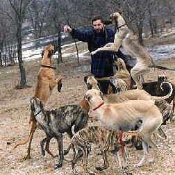 Sloughi, Slougui, Arabian Greyhound, Arabischer Windhund