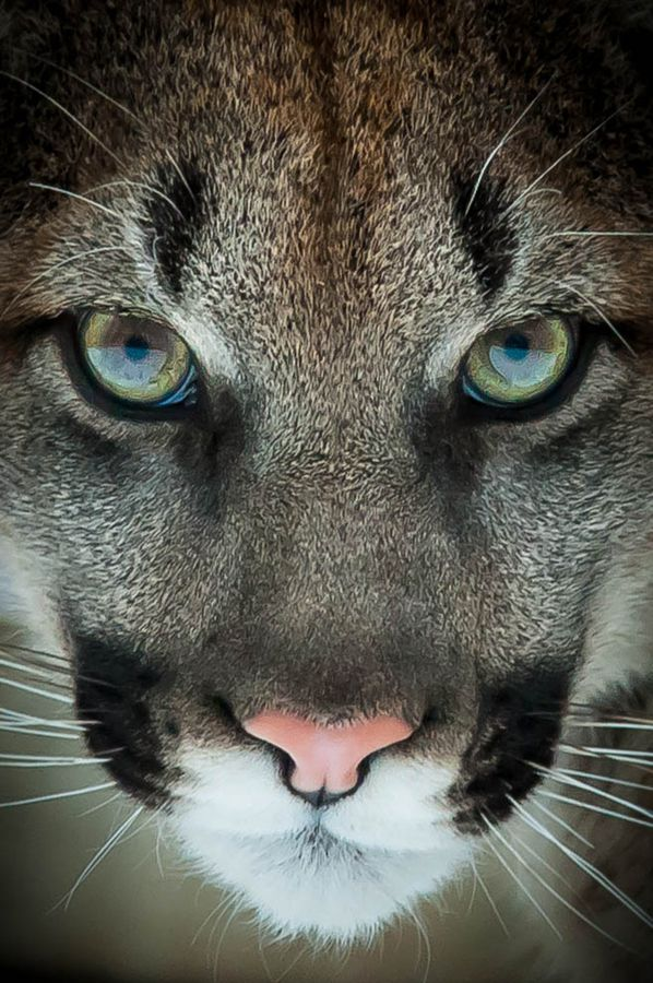Sinister by Justin Lo, via 500px - Cougar stare, close up