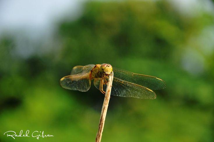 dragonfly by Radek Gibran