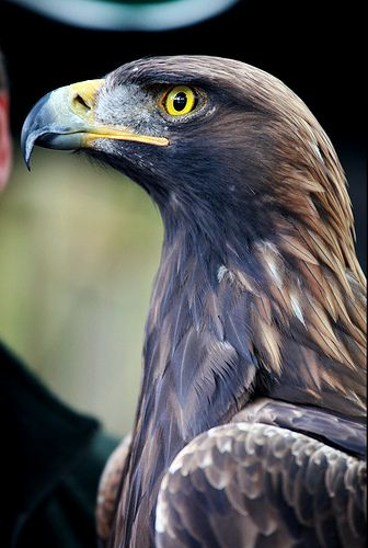 ^Golden eagle - If I'm lucky, and they want to fly low, I can see them swoop from my deck! Shear grace!