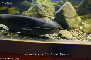 Sumec západný - vhodná ryba ku Betta Splendens