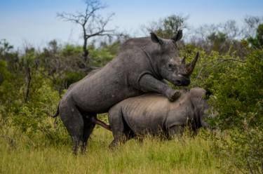 "Saatchi Art Artist David Rabie; Photography, ""Saving the Rhino II - Limited Edition 1 of 12"" #art"