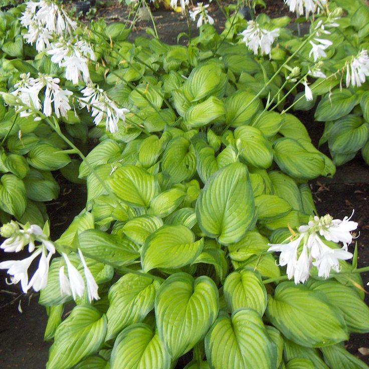 www.johnstowngardencentre.ie p hosta-gaucamole hosta_guacamole