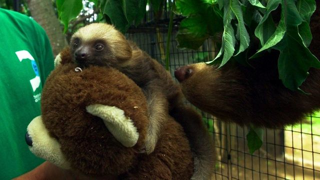 Baby Sloth!! Refuses to Eat without a Suitable Cuddle Buddy: Funny Animals, Suitable Cuddle, Cuddle Buddy, Baby Sloths, Sloths Refuse, Baby Animals, Amazing Animals, Sloth Refuses