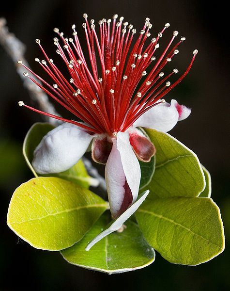LEARN about the pineapple guava (Acca sellowiana