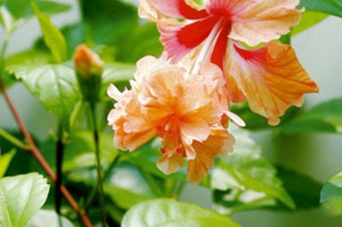 Gambar Struktur Bunga Putri Malu Ciri Khusus Tumbuhan Putri Malu Dan Fungsinya Yaitu Buku Gambar A3 Jenis Tanaman Yang Mengu Bunga Kembang Sepatu Tanaman