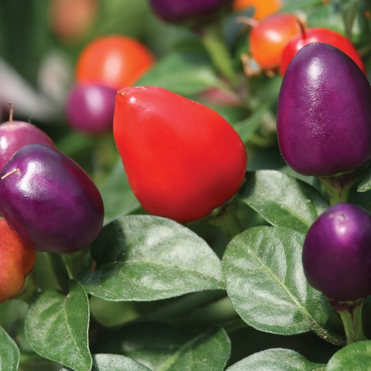 "Loco CHILLI PEPPER Hybrid Seeds [Capsicum annum] | ""This eye–catching British bred, RHS AGM variety produces masses of small purple fruits that ripen to fiery red. Oval shaped fruits are carried above the foliage, on compact, well branched plants. The colourful chillies have a moderate heat that is just spicy enough to add a kick to your cooking. Loco makes a fabulous 'ornamental edible' for a sunny windowsill, patio container or greenhouse crop."""