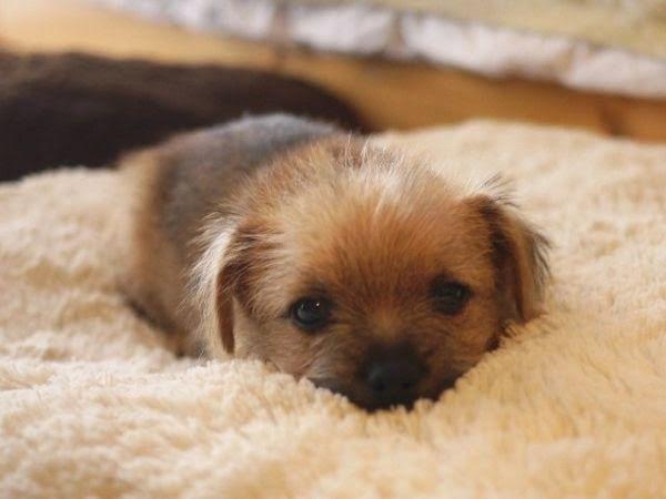 Sweet Baby Norfolk Terrier Puppies Norfolk Terrier Puppies