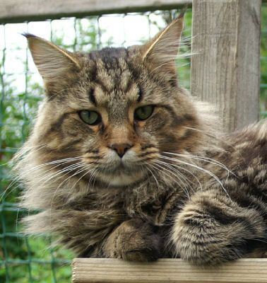 boo boo: Cats Meow, Big Cats, Coon Picture, Maine Coon Cats, Coon Cat Looks