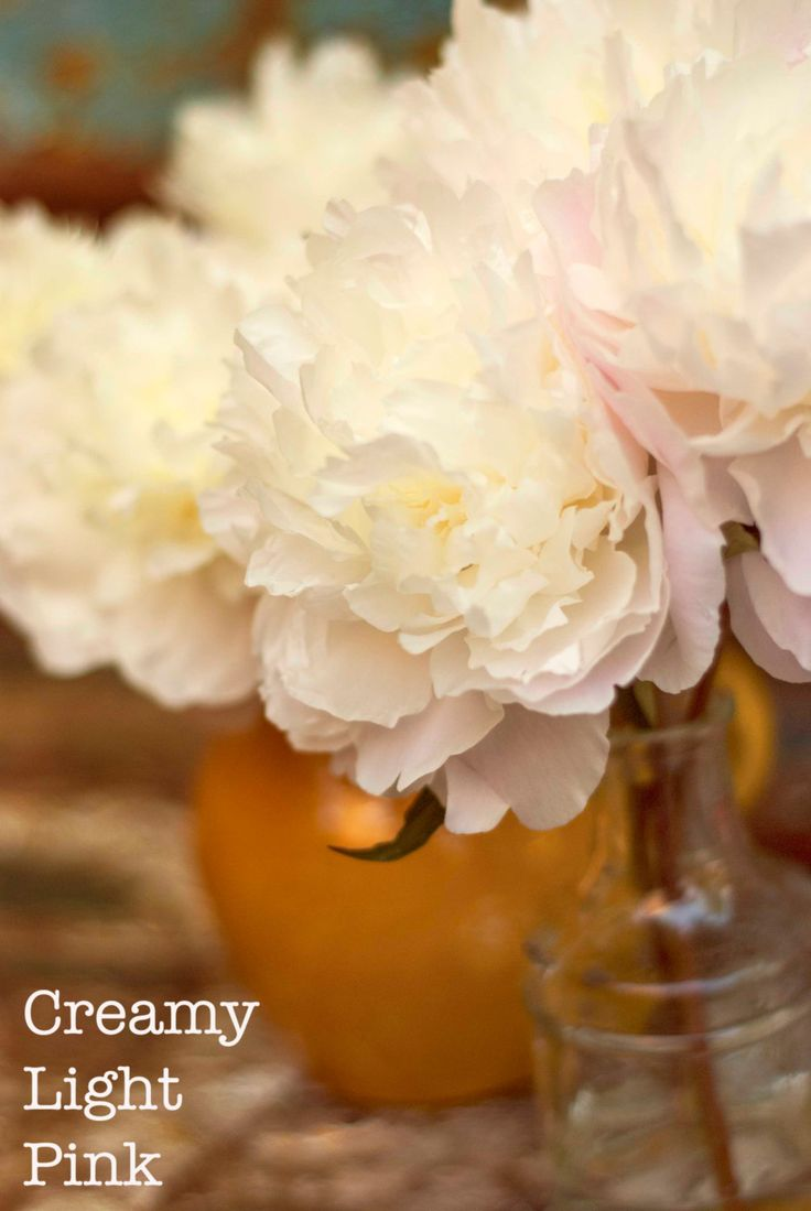 Photograph of Peony roses romantic style by CreamyLightPink