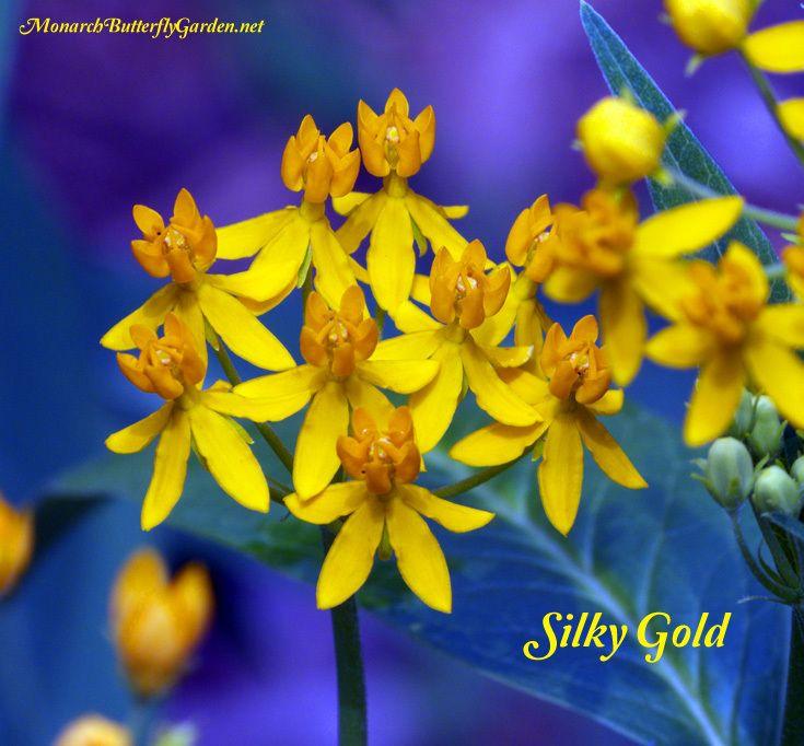 find milkweed plants and milkweed seeds for monarchs butterfly garden