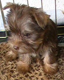 """Chocolate Teacup Yorkie puppy """"Kit Kat"""" at 8 weeks."""