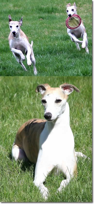 I Heart Whippets Facebook 1000+ images about Gre...