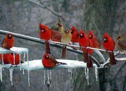 Pássaros Cardeais.